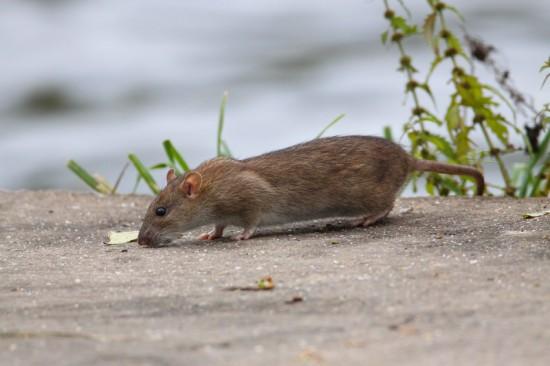 Eine Rattenplage muss durch den Kammerjäger bekämpft werden.
