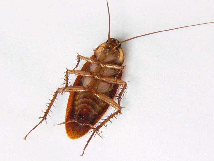 Tote Kakerlaken deuten meistens auf eine Kakerlakenplage hin.
