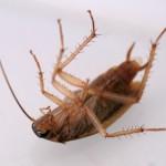 Tote Schaben, Kakerlaken deuten meist auf einen starken Befall hin.