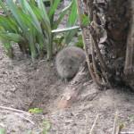 Bei Wühlmäusen im Garten kann oft nur der Schädlingsbekämpfer helfen.