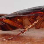 Kakerlaken Schaben Wirkungsvolle Bekamfpung