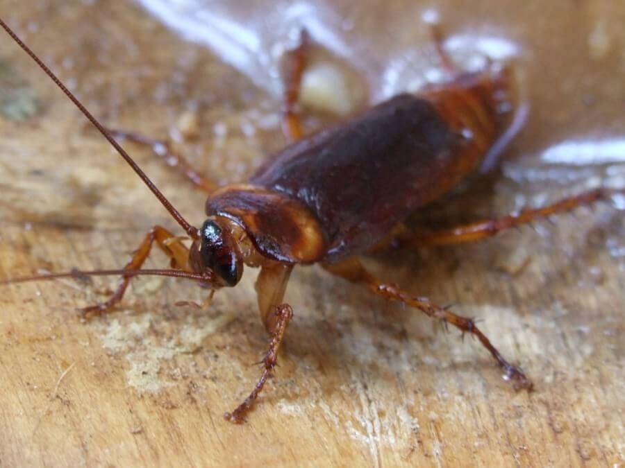 Küchen sind ein idealer Lebensraum für Kakerlaken.