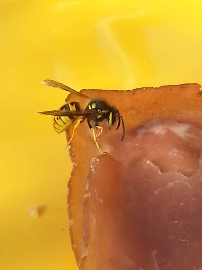 Professionelle Wespenbekämfung durch Ihren Kammerjäger