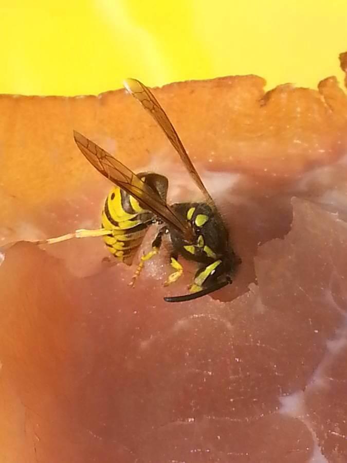 Wespen können eine Plage werden. Professionelle Wespenbekämpfung hilft.