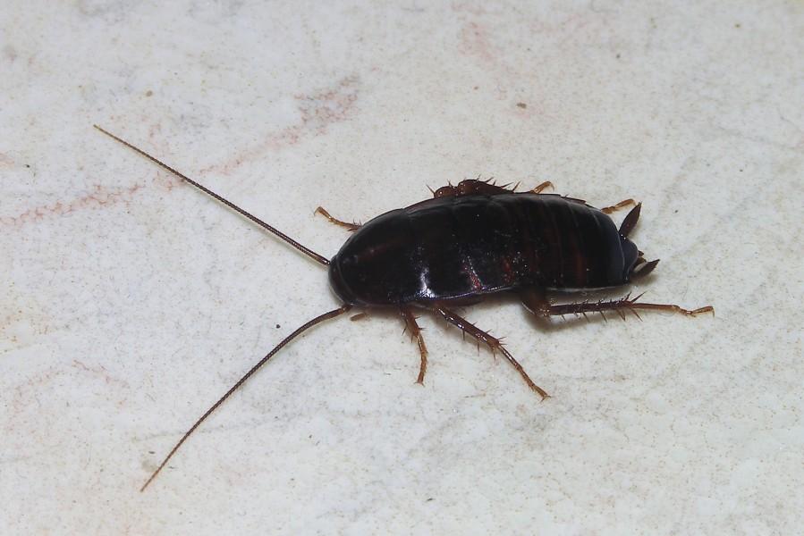 weibliche Küchenschabe, orientalische Kakerlake