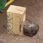 Eine verendete Ratte in einer Rattenfalle.