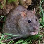 Ratten sind in Berlin sehr verbreitet. Eine Rattenplage wird vermutet.