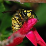 Wespen lieben auch Nektar und bestäuben nebenbei Blüten.