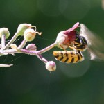 Nektar steht auch auf der Speisekarte von Wespen.