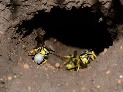 Echte Wespen beim Verlassen eines Erdnests.