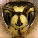 Portrait der gemeinen Wespe. Die Unterschiede zur Deutschen Wespe sind deutlich.