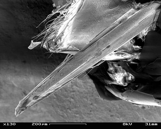 Der Stachel der Wespe unter dem Elektronenmikroskop.