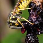 Gemeine Wespen fressen auch gerne Früchte.