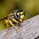 Deutsche Wespe läuft auf Holz.