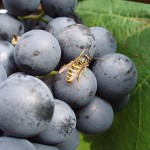 Wespen lieben Weintrauben.