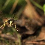 Gemeine Wespe (Vespula vulgaris) im Flug.
