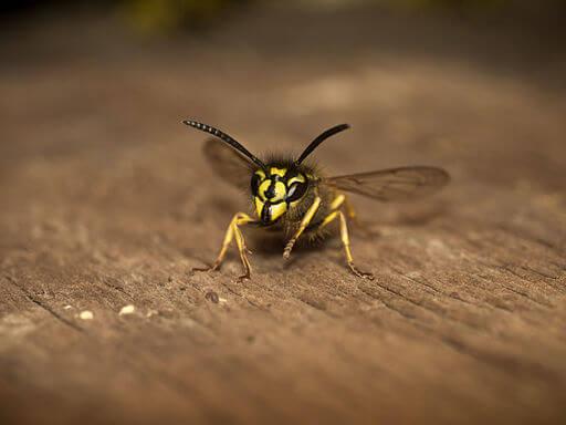 Gemeine Wespe sitzt auf Holz. Anblick von vorne.