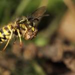 Gemeine Wespe transportiert Nahrung zum Nest