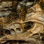 Die gemeine Wespe beim Nestbau aktiv.