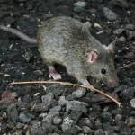 Mäuse sind vorsichtig, daher ist ein Befall meist schwer zu erkennen.