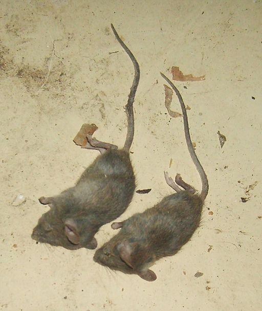 Der Kammerjäger bekämpft eine Mäuseplage.