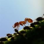 Ameisen melken Blattläuse um an den Honigtau zu kommen.